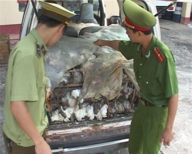 Chim bồ câu Trung Quốc âm thầm nhập lậu vào Việt Nam - Ảnh 1