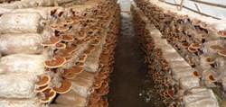 Có đến 9/10 loại nấm mọc hoang có độc tố