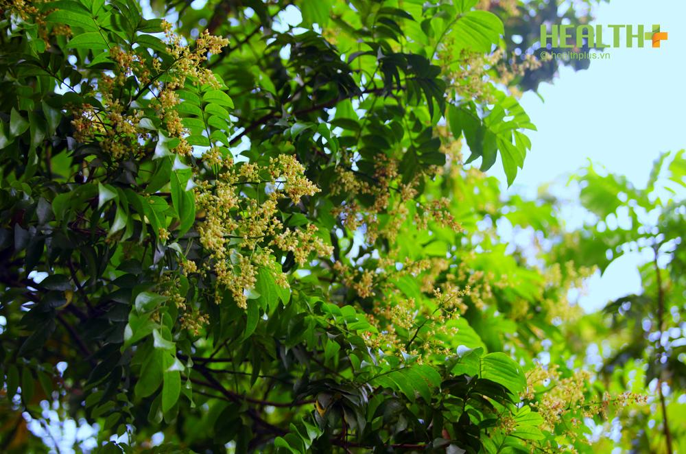Hà Nội đẹp ngỡ ngàng hoa sấu - mùa lá rụng - Ảnh 5